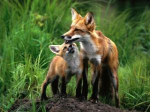 Охота на лису и зайца в Прикарпатье. Неожиданный финал